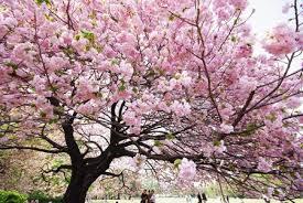 El samurai y el árbol del cerezo | Alma de Samurai